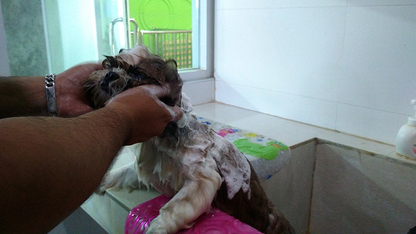 อาบน้ำชิสุ